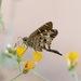 Saltarina de Cola Larga Común de Baja - Photo (c) Bill Levine, todos los derechos reservados