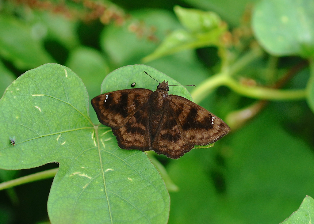 Purplish Tufted-Skipper - Photo (c) Paul, all rights reserved, uploaded by creaturesnapper
