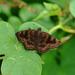 Nisoniades bromias - Photo (c) Paul, todos los derechos reservados, uploaded by creaturesnapper