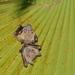 Lesser Short-nosed Fruit Bat - Photo (c) dave_k_h, all rights reserved