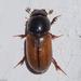 חיפושיות זבל קטנות - Photo (c) Valter Jacinto, כל הזכויות שמורות