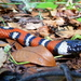 California Mountain Kingsnake - Photo (c) antonyw, all rights reserved, uploaded by antonyw