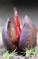 Pelliciera rhizophorae image