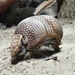 Three-banded Armadillos - Photo (c) Joachim S. Müller, some rights reserved (CC BY-NC-SA)