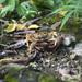Laevimon kottelati - Photo (c) earthknight, todos los derechos reservados