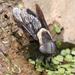 Tabanus punctifer - Photo (c) Gary McDonald, todos los derechos reservados