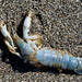 Blue Mud Shrimp - Photo (c) Wendy Feltham, all rights reserved