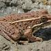 Rana Leopardo de Las Planicies - Photo (c) James N. Stuart, todos los derechos reservados