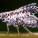Trypetimorpha occidentalis - Photo (c) gernotkunz, all rights reserved