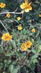 Sclerocarpus divaricatus image