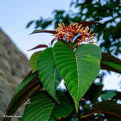 Hamelia magnifolia image