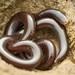 Indotyphlops braminus - Photo (c) honeyroll_ahmad_sah, kaikki oikeudet pidätetään