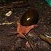 Megalobulimus pergranulatus - Photo (c) José Carlos Perrenoud Filho, todos los derechos reservados