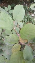 Fothergilla gardenii image