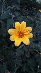 Tithonia rotundifolia image