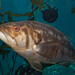 Kelp Bass - Photo (c) Brian Gratwicke, some rights reserved (CC BY)