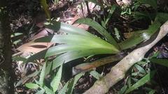 Xiphidium caeruleum image
