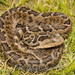 Crotalus ravus - Photo (c) Elí García Padilla, כל הזכויות שמורות, uploaded by Elí García-Padilla