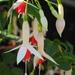 Fuchsia × hybrida - Photo (c) Teresa Grau Ros,  זכויות יוצרים חלקיות (CC BY-SA)