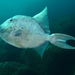 Finescale Triggerfish - Photo (c) Ricardo Betancur, some rights reserved (CC BY-NC-ND)