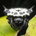 Black-and-white Spiny Spider - Photo (c) Marco Chan, all rights reserved