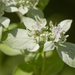 Whiteleaf Mountain Mint - Photo (c) Layla, all rights reserved, uploaded by Layla Dishman