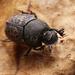 Onthophagus fracticornis - Photo (c) Panagiotis Dalagiorgos, all rights reserved