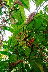 Psychotria grandis image