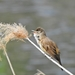 Great Reed Warbler - Photo (c) Ali Hofmann, all rights reserved