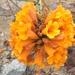 Argylia radiata - Photo (c) iibarra, todos los derechos reservados