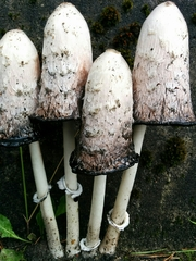 Shaggy Mane - Photo (c) Dominik and Melisa, all rights reserved