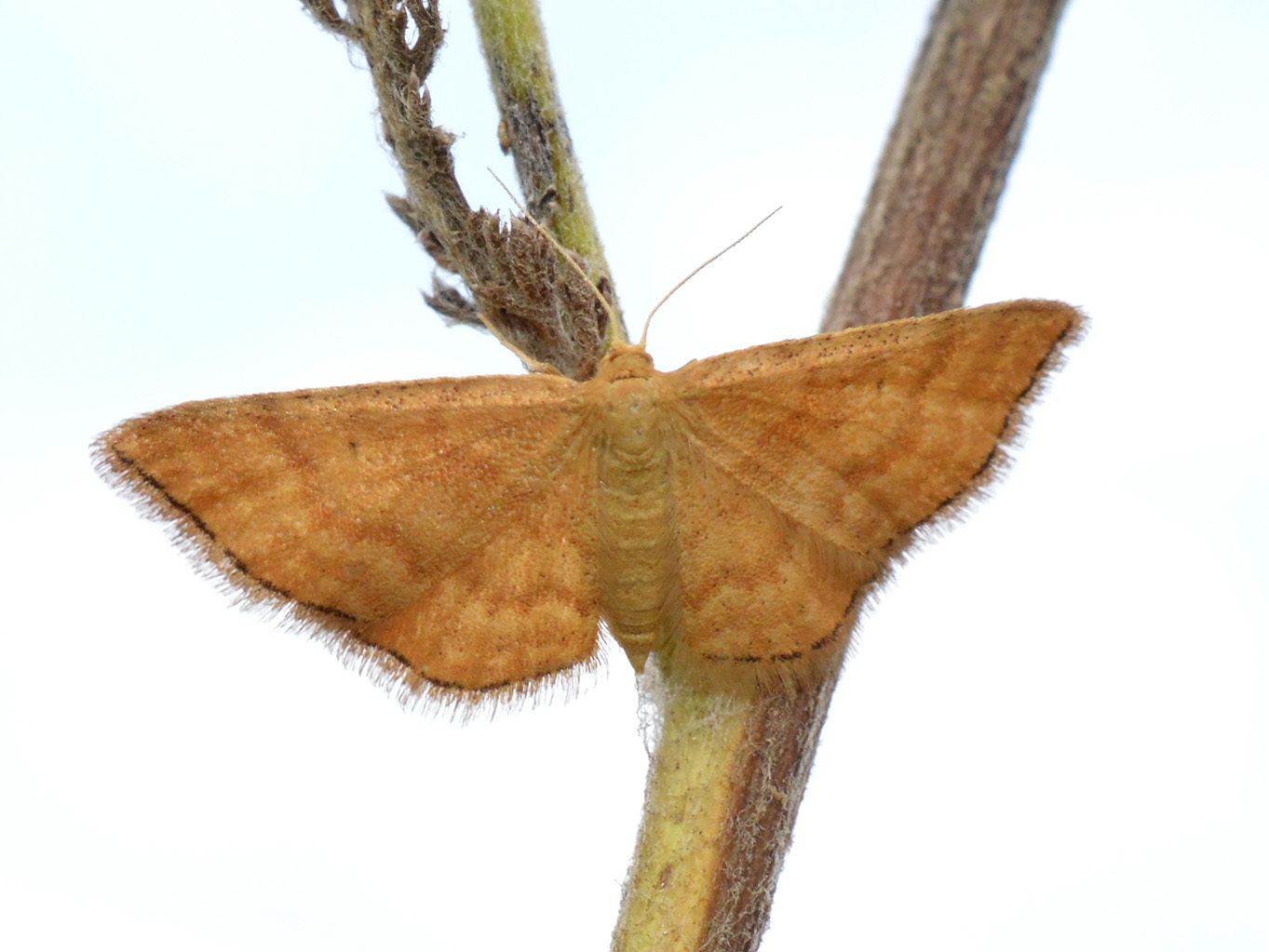 Image of Idaea serpentata
