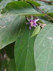 Trichospermum galeottii image