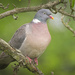 Common Wood-Pigeon - Photo (c) hedera.baltica, some rights reserved (CC BY-SA)