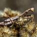 California Mantis - Photo (c) Jay Keller, all rights reserved, uploaded by Jay L. Keller