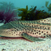 Zebra Shark - Photo (c) frannyfish, all rights reserved