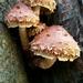 Hemistropharia albocrenulata - Photo (c) Johnny Richmond, all rights reserved