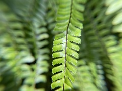 Image of Asplenium monanthes