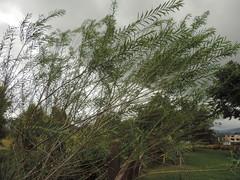 Image of Salix viminalis