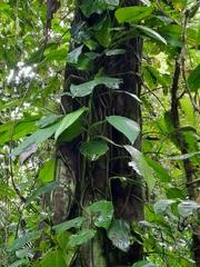 Syngonium schottianum image