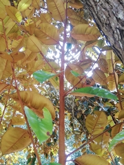 Chrysophyllum cainito image