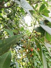 Psychotria micrantha image