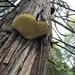 Tyromyces amarus - Photo (c) tranquil-one, todos los derechos reservados