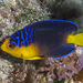 Nahacky's Angelfish - Photo (c) John Hoover, all rights reserved