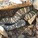 Southwestern Speckled Rattlesnake - Photo (c) gergus_naturalist, all rights reserved