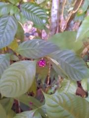 Psychotria hoffmannseggiana image