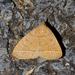 Zanclognatha marcidilinea - Photo (c) treichard, todos los derechos reservados, uploaded by Timothy Reichard