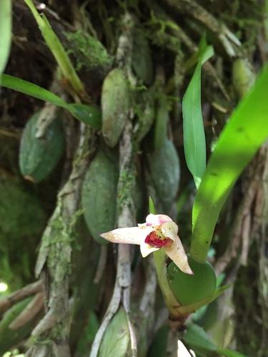 Maxillaria oreocharis image