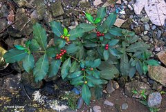 Rauvolfia tetraphylla image