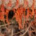 Cytospora chrysosperma - Photo (c) Trent Pearce, all rights reserved